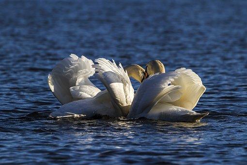 Water, Swans, Lake