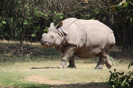 Rhinoceres, Animal, Zoo, Trappedwildlife, Mammal, Wild