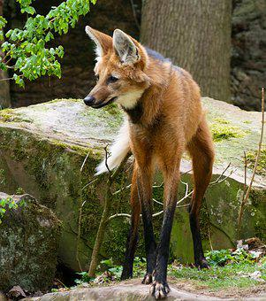Animal World, Wolf, Maned Wolf, Mammal, Predator, Slim