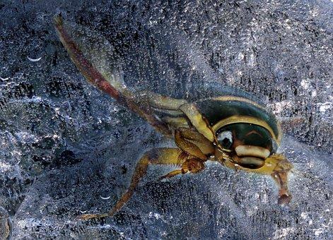 Yellow Margin Beetle, Nature, Animal, Swimming Beetles