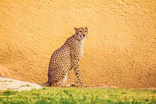 Nature, Cat, Animal, Mammal, Wildlife, Leopard, Cute