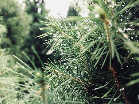 Needle, Tree, Nature, Pine, Flora, Evergreen, Branch