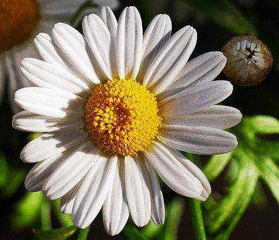 Marguerite, Blossom, Bloom, White, Yellow, Bud, Nature