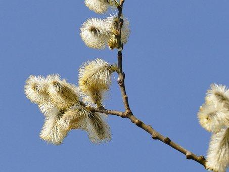 Fluffy, Nature, Plant, Pasture, Tree, Close, Spring