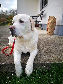 Dog, Canine, Mammal, Cute, Pet, Labrador, Family
