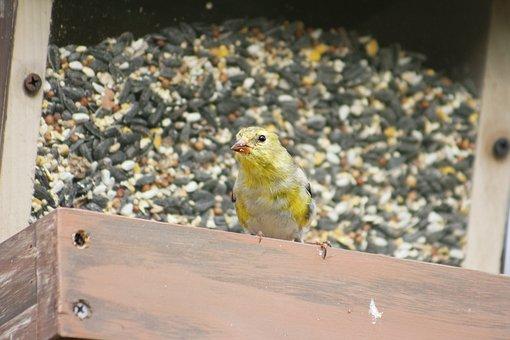 Nature, Outdoors, Bird, Female Gold Finch, Wildlife