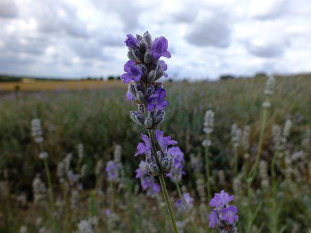 Flower, Nature, Outdoors, Flora, Lavender, Summer