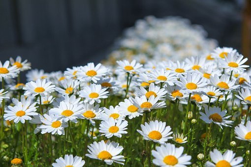 Flowers, Nature, Plants, Summer, Garden, Gujeolcho