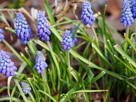 Nature, Plant, Hyacinth, Season, Flower, Spring, Garden