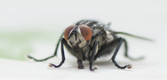 Pest, Animal, Insect, Fly, Nature, Creepy, Close