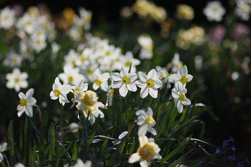 Daffodils, Flowers, Supplies, Spring, Nature, Plant
