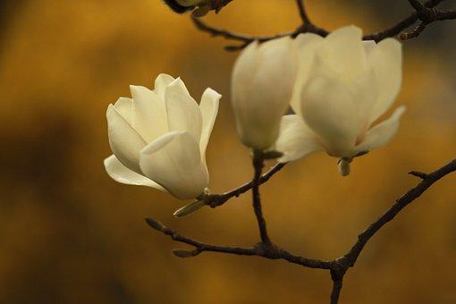 Nature, Plants, Flowers, Quarter, Magnolia, Petal