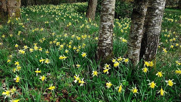 Daffodils, Osterglocken, Nature, Plant, Summer, Grass
