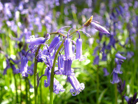 Flower, Flora, Nature, Outdoors, Summer, Bluebell