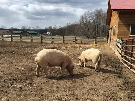 Pigs, Farm, Animal, Agriculture, Barn, Domestic