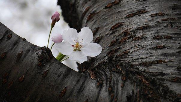 Cherry Flowers, Nature, Plants, Environment