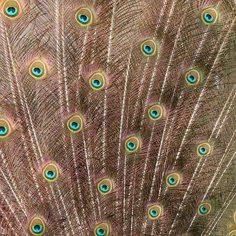 Peacock, Feather, Bird, Exhibition, Pride, Iridescent