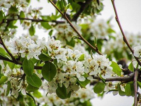 Tree, Branch, Nature, Plant, Season, Flower, Cherry