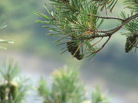 Needle, Pine, Nature, Tree