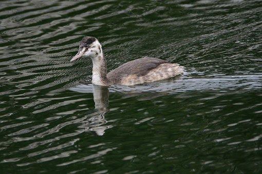 Bird, Waters, Wild Animals, Pond