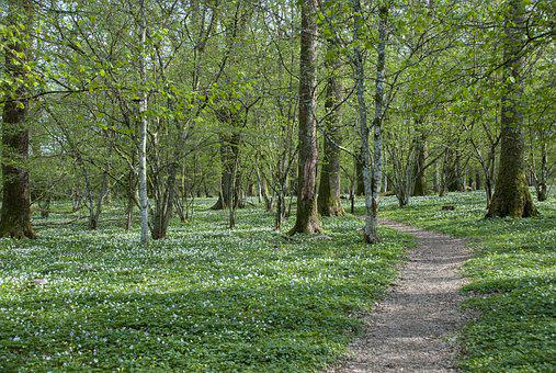 Nature, Wood, Tree, Lawn, Park, Anemones, Forest