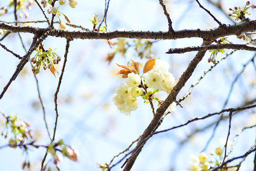 Flowers, Natural, Cherry, Branch, Plant, Wood, Spring