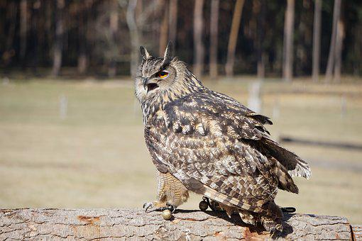 Owl, Eagle Owl, Nature, Bird, Animal, Animal World
