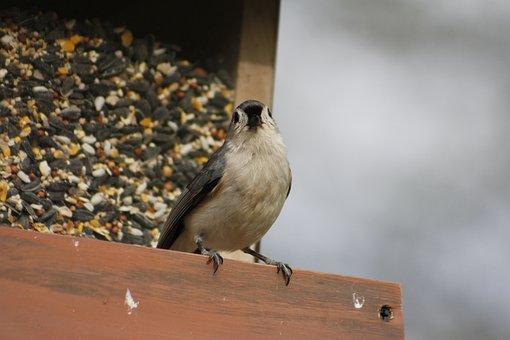 Bird, Nature, Outdoors, Wildlife, Bird Feeder, Titmouse