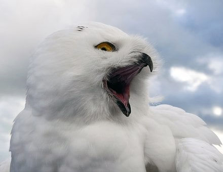 Snowy Owl, Bird, Raptor, Animal, Owl, Cry, Sky