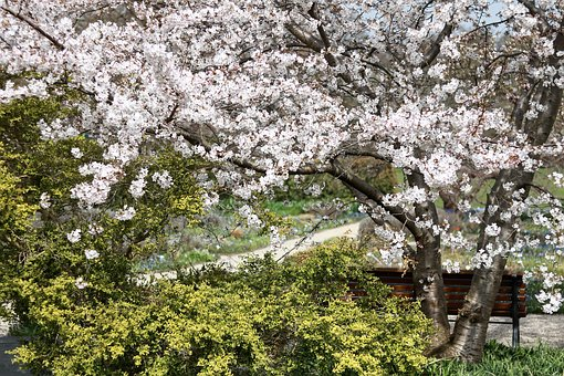 Tree, Flower, Cherry Wood, Season, Branch, Park