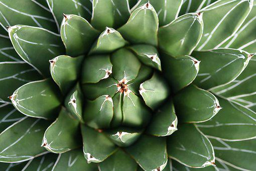 Cactus, Juice Plant, Plant, Thorn, Leaf, Nature, Agave