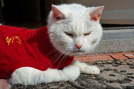 White Cat, Cat, Animal, Mammal, Domestic, Pet, Feline