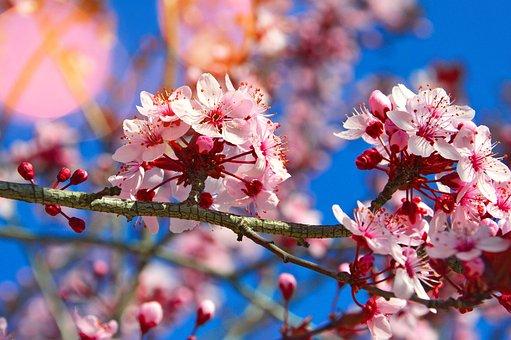 Wood, Season, Nature, Branch, Flower, Cherry, Plant