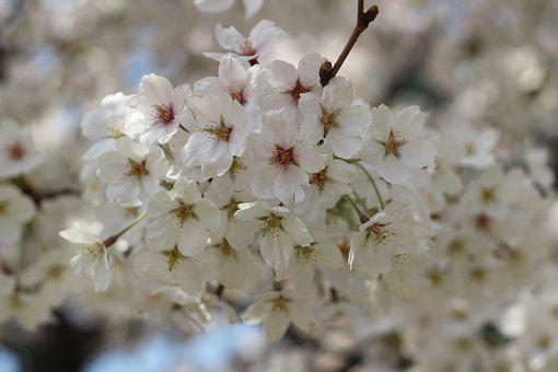 Flowers, Cherry Tree, Plants, Petal, Flowering, Nature