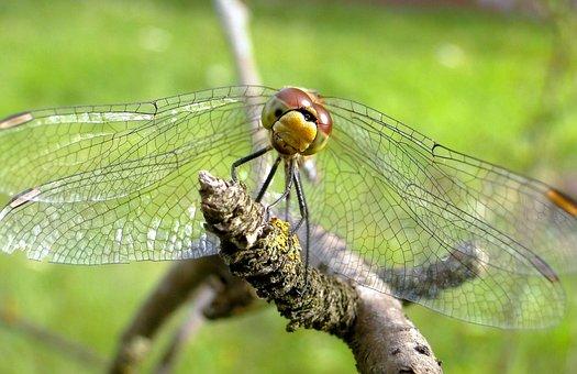 Dragonflies Różnoskrzydłe, Insect, Nature, Animals