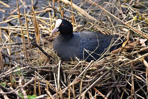 Coot, Bird, Waterbird, Animal, Eurasian Coot