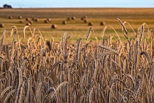 Nature, Cornfield, Wheat, Harvest, Field, Cereals