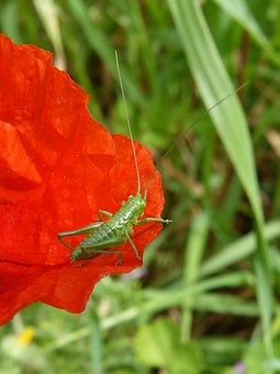 Grasshopper, Green Grasshopper, Insect, Orthopteron