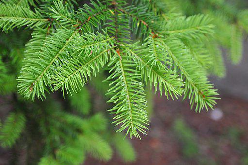 Needle, Flora, Nature, Tree, Leaf, Branch, Evergreen