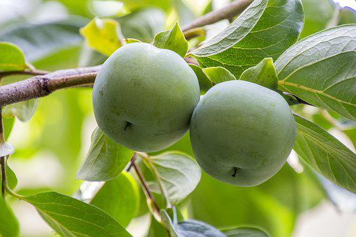 Khaki Green, Fruit Green, Persimmon, Leaf, Fruit