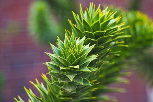 Nature, Leaf, Plant, Season, Garden, Tree, Araucaria