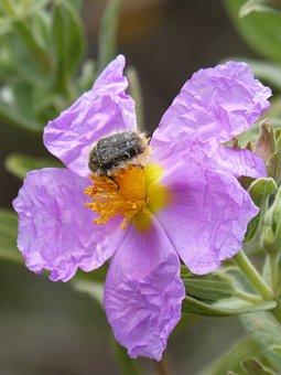 Oxythyrea Funesta, Beetle, Coleoptera, Flower, Libar