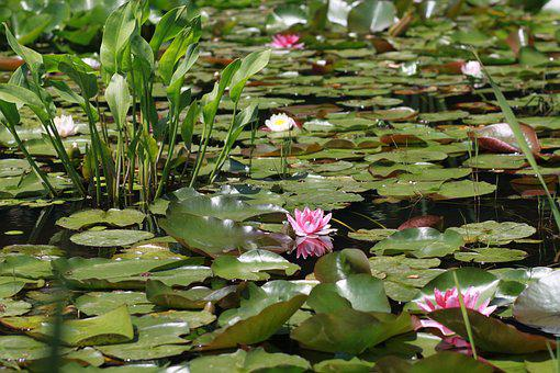 Flowers, Plants, Lily, Leaf, Lotus, Buddhism, Pond