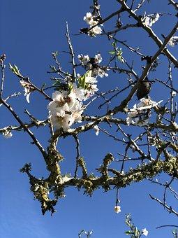 Tree, Season, Nature, Sky, Almonds, Almond Blossom