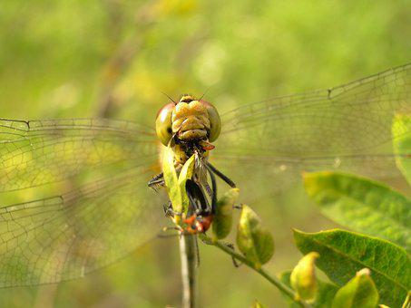 Nature, Insect, Animals, Dragonflies Różnoskrzydłe