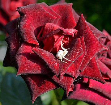 Rose, Flower, Give, Plant, Nature