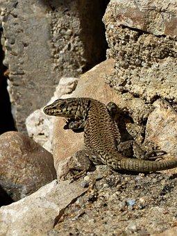 Nature, Lizard, Reptile, Roche, Animal, Outdoor, Pierre