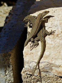 Lizard, Reptile, Nature, Roche, Animal, No Person