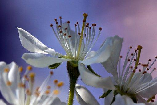 Plum Blossom, Flowers, Petals, White Flowers, Pistil