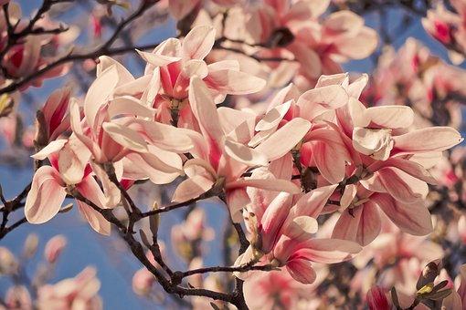 Flower, Plant, Nature, Garden, Magnolia, Spring, Pink
